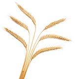 Oídos del trigo aislados en el fondo blanco Foto de archivo libre de regalías