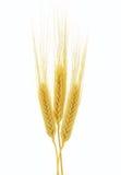 Oídos del trigo aislados en el fondo blanco Imágenes de archivo libres de regalías