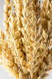 Oídos del trigo aislados en el fondo blanco Imagenes de archivo