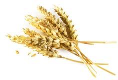 Oídos del trigo aislados en el fondo blanco Fotografía de archivo libre de regalías