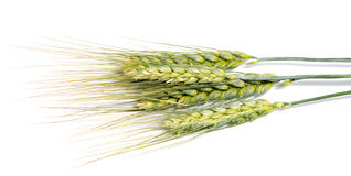Oídos del trigo aislados en el fondo blanco como diseño de paquete Imágenes de archivo libres de regalías