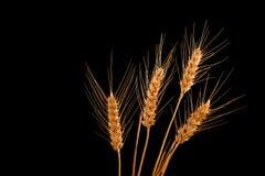 Oídos del trigo aislados en fondo negro Imagen de archivo