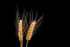 Oídos del trigo aislados en fondo negro Fotografía de archivo libre de regalías