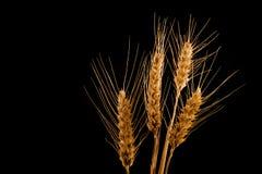 Oídos del trigo aislados en fondo negro Fotos de archivo libres de regalías