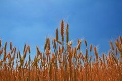 Oídos del trigo bajo el cielo azul Fotos de archivo