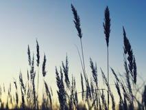 Oídos del trigo Campo de grano ruso imagen de archivo libre de regalías