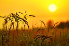 Oídos del trigo, centeno contra el contexto del cielo anaranjado Foto de archivo