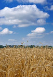 Oídos del trigo contra el cielo Foto de archivo