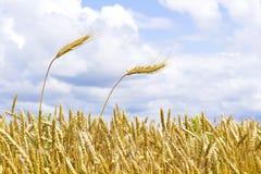 Oídos del trigo contra el cielo Fotografía de archivo libre de regalías