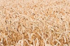 Oídos del trigo de oro en campo Imagen de archivo