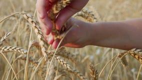 Oídos del trigo de oro en campo de granja metrajes