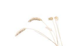 Oídos del trigo después de la cosecha Imágenes de archivo libres de regalías