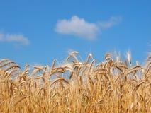 Oídos del trigo en campo fotos de archivo libres de regalías