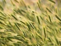 Oídos del trigo en campo Fotografía de archivo libre de regalías