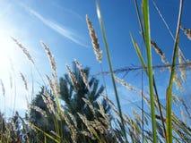 Oídos del trigo en el bosque fotografía de archivo