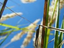 Oídos del trigo en el bosque imagen de archivo libre de regalías