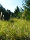 Oídos del trigo en el bosque fotos de archivo libres de regalías