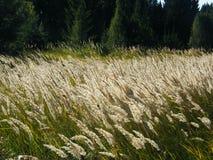 Oídos del trigo en el bosque foto de archivo