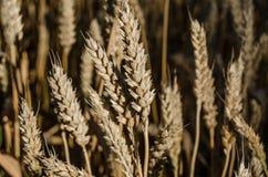 Oídos del trigo en el campo imagenes de archivo