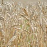 Oídos del trigo en el campo con el cielo azul Fotografía de archivo libre de regalías