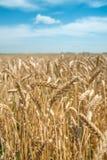 Oídos del trigo en el campo con el cielo azul Imágenes de archivo libres de regalías