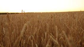 Oídos del trigo en el campo de granja, profundidad del campo baja Campo de trigo maduro de oro en puesta del sol Cosecha y agríco metrajes