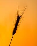 Oídos del trigo en el fondo de una puesta del sol de oro Fotos de archivo libres de regalías