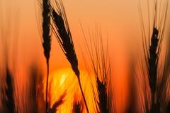 Oídos del trigo en el fondo de una puesta del sol de oro Imágenes de archivo libres de regalías