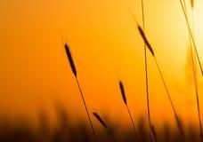 Oídos del trigo en el fondo de una puesta del sol de oro Fotos de archivo