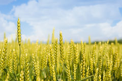 Oídos del trigo en el sol Trigo no maduro en el campo Fotografía de archivo