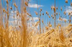 Oídos del trigo en fondo del cielo azul imagen de archivo