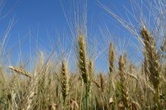 Oídos del trigo en la foto del primer del campo Fotos de archivo libres de regalías