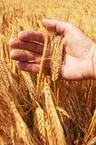 Oídos del trigo en la mano Fotos de archivo libres de regalías