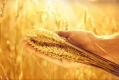 Oídos del trigo en la mano del hombre Foto de archivo libre de regalías