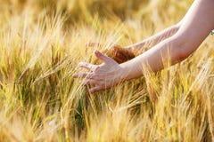Oídos del trigo en las manos imágenes de archivo libres de regalías