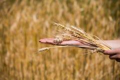 Oídos del trigo en las manos Concepto de la cosecha Fotos de archivo libres de regalías