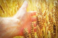 Oídos del trigo en mano del ` s del hombre Concepto de la cosecha Mano de la agricultura conmovedora del maíz del trigo del granj Imagen de archivo