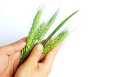 Oídos del trigo en manos Imagen de archivo