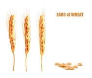 Oídos del trigo Ilustración del vector libre illustration