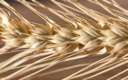 Oídos del trigo Macro Foto de archivo libre de regalías