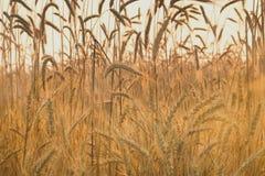 Oídos del trigo maduro Imagen de archivo