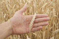 Oídos del trigo a mano Fotografía de archivo
