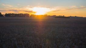 Oídos del trigo que agitan en el viento en el tiempo de la puesta del sol Campo de trigo Imágenes de archivo libres de regalías