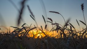 Oídos del trigo que agitan en el viento en el tiempo de la puesta del sol Primer del oído en fondo de la puesta del sol Fotografía de archivo libre de regalías