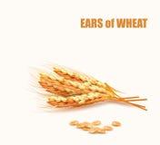 Oídos del trigo Vector libre illustration