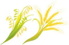 Oídos del trigo y de la avena Fotos de archivo libres de regalías