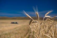 Oídos del trigo y de las máquinas segadores Fotos de archivo