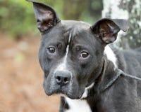 Oídos erguidos del americano del perro blanco y negro de Pit Bull Terrier fotografía de archivo