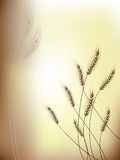 Oídos florales del grano del fondo Imágenes de archivo libres de regalías