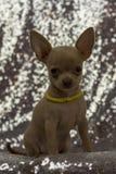 Oídos grandes del perrito minúsculo lindo de la chihuahua Foto de archivo